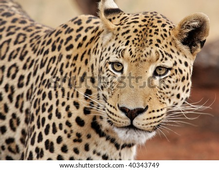 Leopard staring directly at camera
