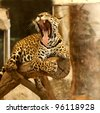 Leopard (Tiger) to roar on the tree. - stock photo
