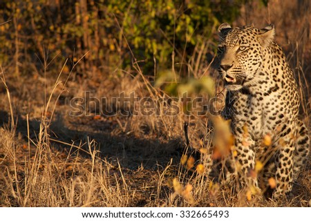 Leopard walking through the bush in morning light in Sabi Sands Game Reserve in greater Kruger National Park, South Africa