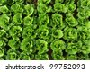 lettuce plant in field - stock photo