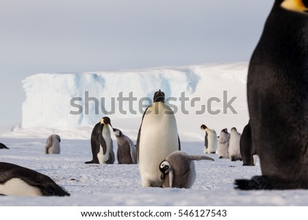 Life of an Emperor penguin in the big colony