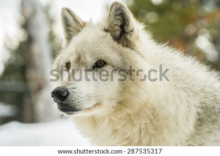 light grey wolf focusing on object of attention