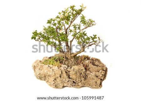 Ligustrum vulgare bonsai isolated on white