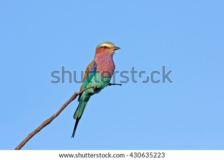 lilac-breasted roller, coracias caudatus, Kruger national park, South Africa