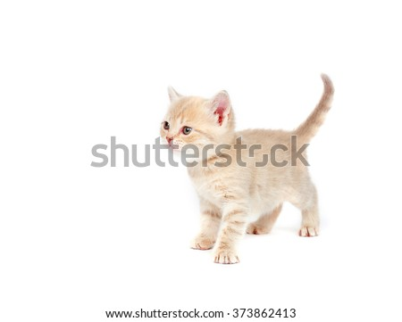 Lilac British kitten on a white background