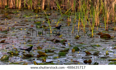 Lily pad and birds