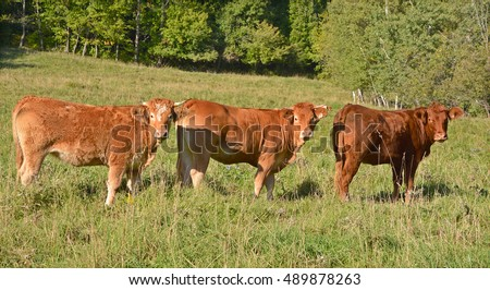 Limousin cattle are a breed of highly muscled beef cattle originating from the Limousin and Marche regions of France. Bromont Eastern Township Quebec Canada