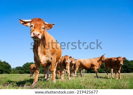 Limousin cows