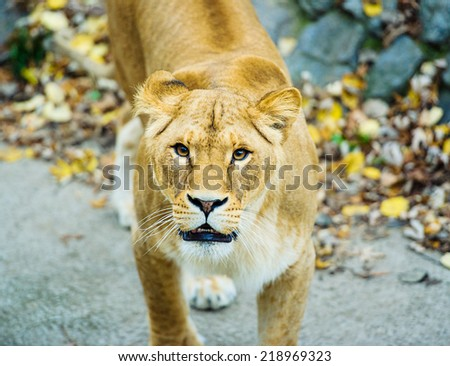 african cheetah adult male sitting behind stock photo