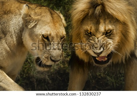 lion and lioness aggressive attack dangerous