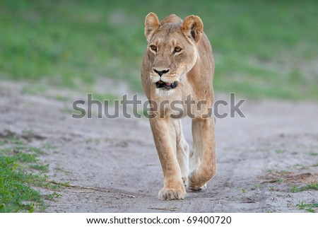 Lion, Chobe National Park, Botswana