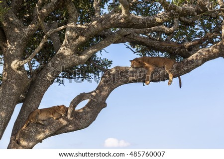Lion cub restin, sleeping on a tree   Tanzania  Africa