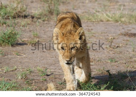 Lion cub walking in savannah
