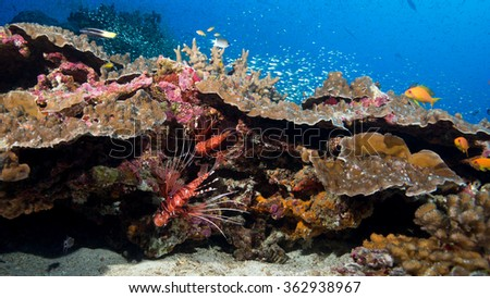 Lion fish on a reef