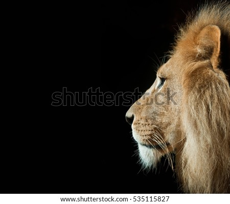 Lions Head Profile Against Black Background Stock Photo ...