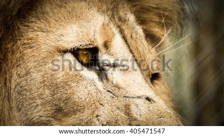 Lion Right Profile