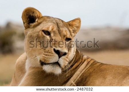 Lioness basking in the heat of the sun
