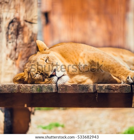 Lioness Is Sleeping During a Hot Sunny Day, picture of Lion int the Zoo