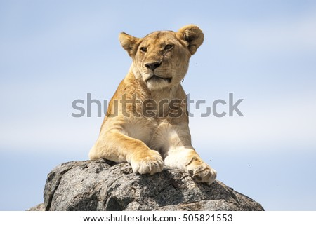 Lioness on a rock