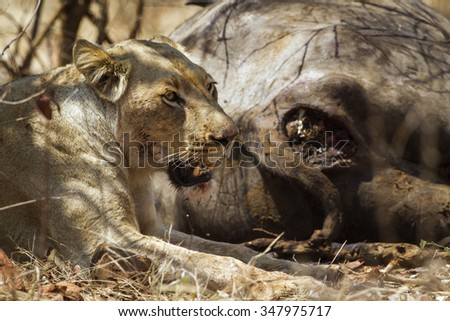 Lioness with prey in Kruger national park, South Africa ; Specie Panthera leo family of felidae