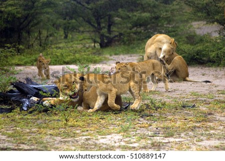Lions, Selous National Park, Tanzania