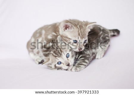 Litter of Bengal kittens. Pedigreed domestic cats. Two little marbled kittens. Feline faces close up. Bengal kittens one month old.