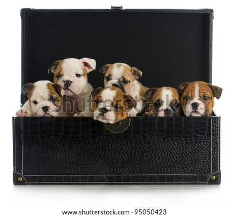 litter of puppies - six english bulldog puppies in a leather chest