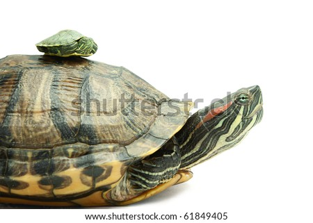 Little and big turtle on white background