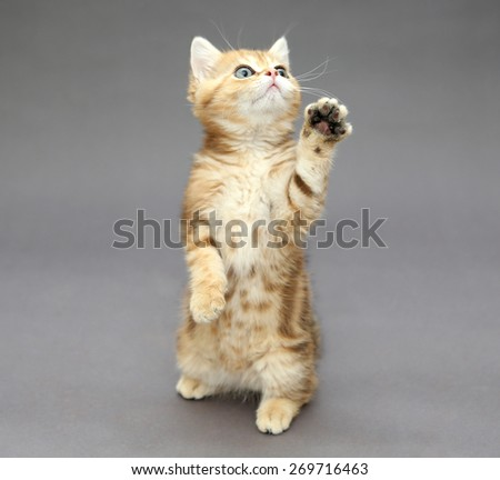 Little British kitten marble colors  playing sitting on its hind legs