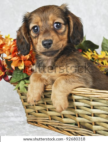 Little Dachshond puppy sitting in a basket with flowers behind her on a white background.