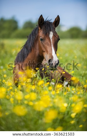 Little foal lying in grass and flowers in the meadow