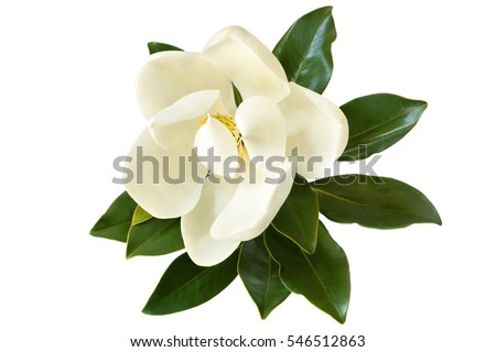 Little Gem magnolia.  Dwarf variety of Magnolia Grandiflora. Also called Evergreen, Bull Bay, Laurel and Loblolly. Close up image of flower with leaves isolated on white background.