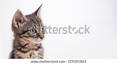 Little gray cat on white background, horizontal