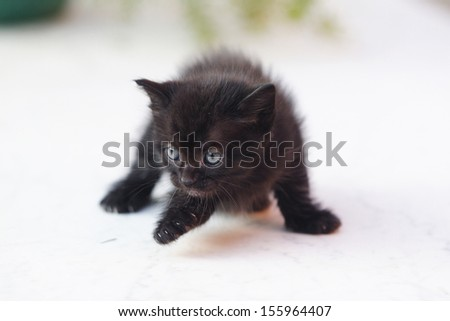 Brown Maine Coon Kitten Playing Toy Stock Photo 443485498 ...