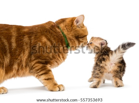 Little kitten and adult cat breed British marble, isolated on white