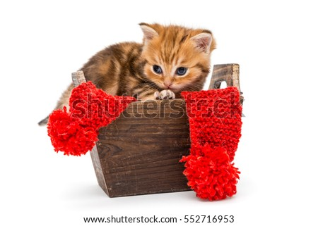 Little kitten British marble sits in a wooden box, isolated on white