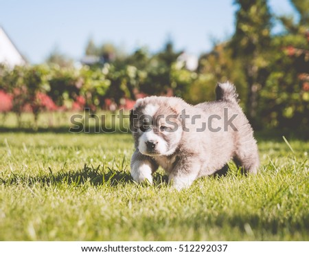 little puppies Central Asian Shepherd on a grass