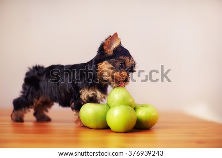 Little puppy licks green apples. Beautiful dog tasting the apple.