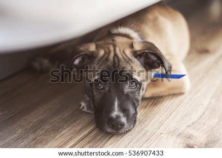 Little puppy lies on the floor under the bed