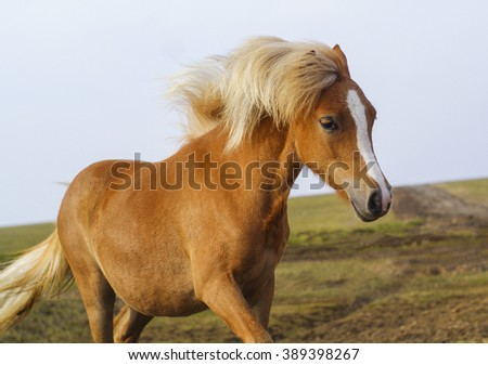 little red pony with a big white blaze on the head and a beautiful white mane standing on the ground in a field