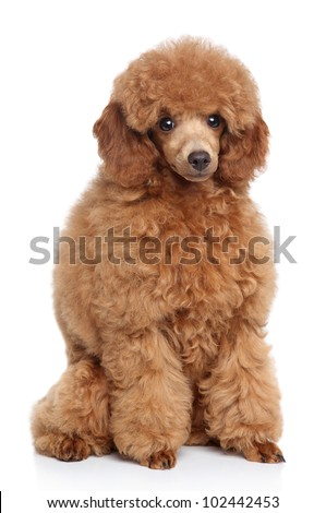 Little red toy poodle sits on a white background
