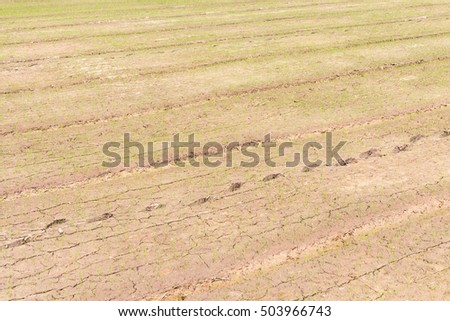 little rice plants growth in mud field, paddy-sown field