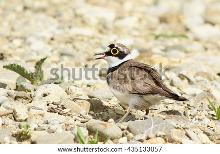 Little Ringed Plover and egg in nest , Charadrius dubius