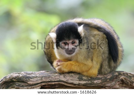 Little squirrelmonkey paying attention to what is happening around him
