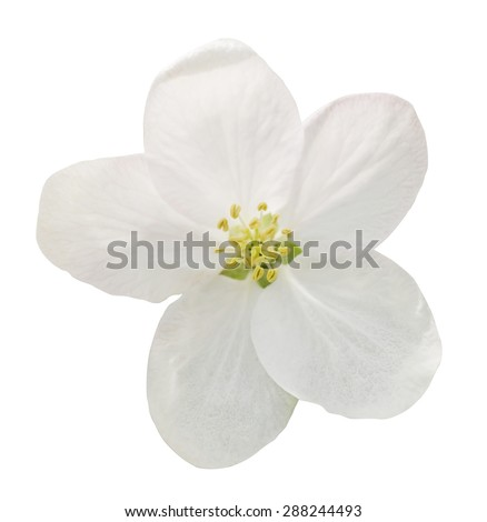 Little white flower flax isolated on white macro