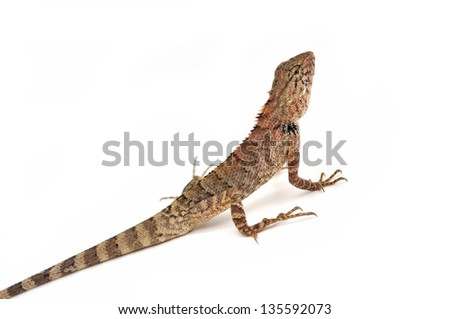 lizard looking for something on white background