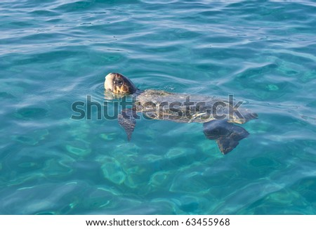 Loggerhead Turtle (caretta caretta) surfacing to breathe . Endangered species.