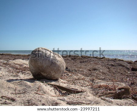 Lone Coconut On Natural Beach