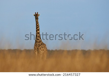 lonely giraffe in the savanna