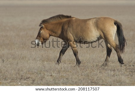 Lonely loschad Przewalski wandering through the steppe.